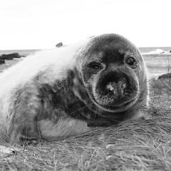 Grey Seal Pup (captures.in.time) Tags: seal greyseal grey pup sea firth forth stabbs abbs saint river shore beach nature naturephotography wildlife wildlifephotography scottishwildlife scottish naturalhistory history ngm ngc planet lonely wild sspca seaside scotland borders