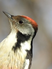 Middle Spotted Woodpecker (Leiopicus medius) (eerokiuru) Tags: middlespottedwoodpecker leiopicusmedius mittelspecht tammekirjurähn woodpecker bird p900 nikoncoolpixp900