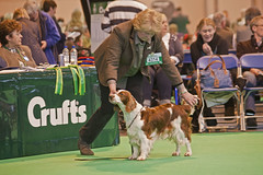 Diary_2016_046 (evinrisca) Tags: crufts welsh springer spaniel dogshow wsscsw