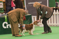 Diary_2016_042 (evinrisca) Tags: crufts welsh springer spaniel dogshow wsscsw