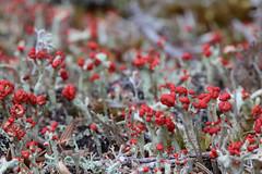 Cladonia Lichen (peterkelly) Tags: digital canon 6d northamerica canada newfoundlandlabrador newperlican sugarloaf hike lichen cladonia