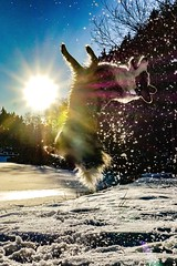 Backflip (_SinaColada_) Tags: canine action shepherd australianshepherd aussie blau blue weis white schnee snow see lake wald forrest sonne sun shadow light salto backflip sprung jump outside natur nature hund dog