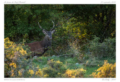 le brame [Cantal] (BerColly) Tags: france auvergne cantal animaux animals cerfs deer rut brame foret bercolly google flickr