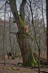 Die Muleiche im Mönchbruchwald (nordelch61) Tags: deutschland hessen heimat naturschutzgebiet mönchbruch mörfeldenwalldorf rüsselsheim wald bäume totholz moos äste wurzeln zweige forest trees roots wood rieseneiche muleiche eiche uralt baum holz