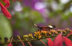 Butterfly World, Florida (Jonathan Flash Hernandez) Tags: birds butterfly nature macro flight flowers garden florida butterflyworld plants