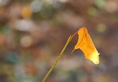 La feuille d'or / The gold leaf (Donald Plourde) Tags: feuille automne dorée or gold leaf autumn brillant bokeh