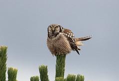 Northern Hawk Owl (miketabak) Tags: