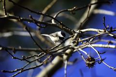Carolina Chickadee '19 (R24KBerg Photos) Tags: nc bird songbird chickadee carolinachickadee canon 2019 nature animal wings feathers cute