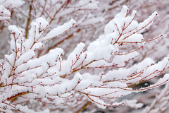 Victoria Snow Days 9 (josullivan.59) Tags: 2019 artistic bc britishcolumbia canada dof february tamron150600 vancouverisland victoria blur day detail garden nature orange outdoor outside overcast park red snow telephoto texture trees wallpaper white winter weather 3exp