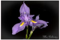 Iris - 001 5515 (Antirrhinum) Tags: rhswisley flora flower alpine