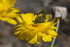 Dainty Sulphur on Desert Marigold (alitay) Tags: daintysulphurbutterfly daintysulphur butterfly catalinastatepark orovalley tucson desertmarigold wildflower wildflowersofarizona insectsofarizona santacatalinamountains