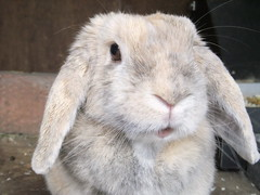 """""""What? Again that camera?!"""" (eveliensbunnypics) Tags: bunny rabbit lop lopeared polly face closeup mouf mouth"""