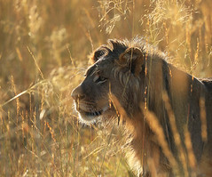 Lion hiding in the grass - Liuwa Plain NP – Zambia (lotusblancphotography) Tags: africa afrique zambia nature wildlife animal faune bigcat lion safari backlit contrejour grass herbe