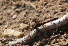 Dragonfly (Toats Master) Tags: insect dragonfly wings nature