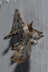 Makunda Insects-7358 - Bombycidae (Vijay Anand Ismavel) Tags: bombycidae makundamoths nikond800