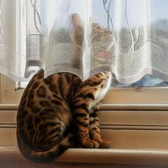 You Can't See Me (Shastajak) Tags: xojo bengal kitten girl hernameisaprogramminglanquage pronouncedzojo curtain windowsill topazglow lightroomcc littledoglaughedstories