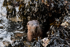 Nice Surprise today to Catch a Pair of Otters Feeding at the Mouth of the River Dee Aberdeen (Rab,Driver of P300NJB @Grampian Continental..) Tags: aberdeen scotland unitedkingdom gb otters riverdeeaberdeenharbour river dee riverdeemouth nature riverdee