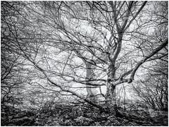 Ghost Trees... (Ody on the mount) Tags: abstrakt anlässe bäume em5ii fototour kunst mzuiko918 omd olympus pflanzen schwäbischealb wald abstract art bw forest monochrome multiexposure sw woods