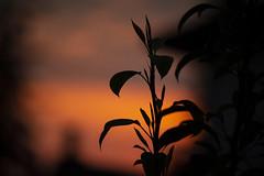 Motivation til the End (Elzyy) Tags: bokeh garden morning mountain light sunrise dusk dawn sunset orange nature silhouette weather flower plant