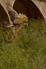 Red Tailed Hawk in flight (Ed Cheremet) Tags: arlingtonarizona birds birdsofprey edcheremet genre gilariver hdr hawk nature redtailedhawk wildlife beak bulrush canon canon50mm canon50mm18 canon60d cattails gillespiebridge gillespiedam httpedcheremetartistwebsitescom arizona