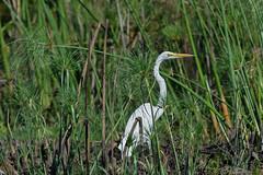 Большая белая цапля, Ardea alba melanorhynchos, Western Great Egret (Oleg Nomad) Tags: большаябелаяцапля ardeaalbamelanorhynchos westerngreategret птицы африка ботсвана bird aves africa botswana