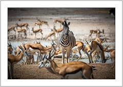 Be Yourself (Kevin Rheese) Tags: africa zebra wildlife etoshanationalpark namibia alone crowded gathering springbok herd animal oshikotoregion na