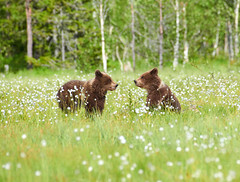 Bear (Jekurantodistaja) Tags: evening finnish scandinavia ursusarctos animal blossom brownbear cute finland flora flower furry grass grizzlybear july mammal nature outdoors predator sitting resting summer summertime suomi swamp ursa wildlife large brown creature danger dangerous europe european young nordic fauna scandinavian strong ursus friend companion siblings friends friendship eriophorum cottongrass cottonsedge bloom plant two companionship fellowship camaraderie goodtimes valentinesday cub pup karhu медведь oso orso urso ours björn 熊 곰 bears miś love valentine ystävyys partners soportar medvěd