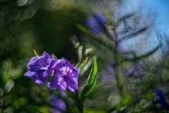 _DSC2193 (kymarto) Tags: bokeh bokehlicious bokehphotography dof depthoffield flowers flowerphotography nature naturephotography beauty beautiful sony sonyphotography sonya7r2 oldlens vintagelens leotaxleonon