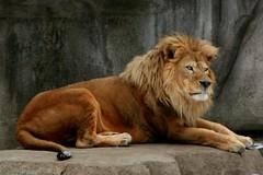 Lion 11 (Emily K P) Tags: milwaukeecountyzoo zoo animal wildlife bigcat cat feline male lion tan yellow grey gray rock laying