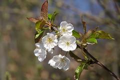 Have a nice sunday (Frank S (aka Knarfs1)) Tags: spring frühling blüte blossom