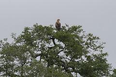 IMG_7192 (Rorals) Tags: southafrica bird wildlife safari kruger птушка ptica птица pták fugl vogel lind lintu oiseau πουλί madár éan uccello putns paukštis għasfur ptak pássaro pasăre vták pájaro fågel птах eagle