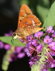 Buddleia visitor (Jenny Thynne) Tags: butterfly skipper lepidoptera insect brisbane queensland australia buddleia hesperiidae trapezitesiacchus brownochreskipper