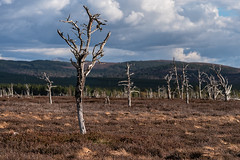 Dead But Still Standing Since the 70s (Geoff France) Tags: trees fire landscape scottishlandscape moor wildfire