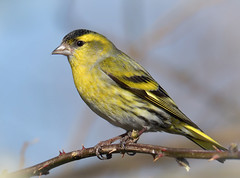 Siskin (KHR Images) Tags: siskin carduelisspinus male wild bird finch lackford lakes suffolk eastanglia wildlife nature nikon d500 kevinrobson khrimages