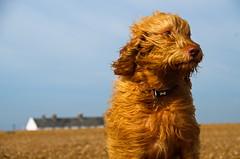 """H"" (shanahands2) Tags: dog vizsla beach shingle house sky nikon d7000"