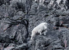 Mountain Goat (edhendricks27) Tags: wildlife goat nikon