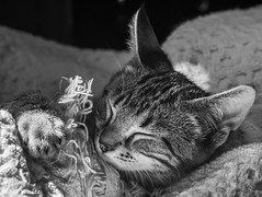 "Sleeping Cutie (SpyderMarley) Tags: kittysuperstar catmoments nikkor70300mmlens nikond7200 paws telephotolens marley tabby cat kitten sleeping blankey throw snuggle comfy domesticshorthair blackandwhite nikon portrait indoors eyesclosed cuddly cute ""kitty superstar"""