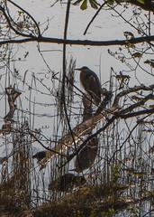 Héron (Pti Scarabée) Tags: iledefrance bird oiseau vögel héron reiher