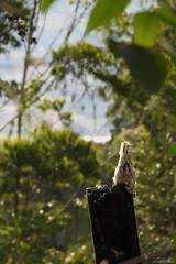 Nyctibius griseus (Wildlife and nature - Colombia) Tags: commonpotoo potoo bienparado nyctibiusgriseus nyctibius mirapalcielo urutau laromera