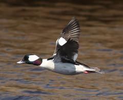 F_031719i (Eric C. Reuter) Tags: birds birding nature widlife nj forsythe nwr march 2019 refuge 031719 westcreek dockroads