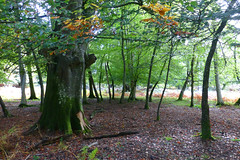 New Forest NP, Hampshire, UK (east med wanderer) Tags: england hampshire uk newforestnationalpark nationalpark oak beech bracken woodland trees