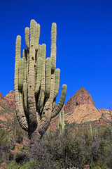 Big Old Saguaro (Buck--Fever) Tags: arizona arizonaskies arizonadesert arizonawonders earthnaturelife desert saguaros saguaro saguarocactus apachetrail landscape bluesky blue canon60d tamron18400lens