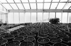 Someone's been busy (Richie Rue) Tags: ripley castle greenhouse potting shed plantpots rows seedlings springtime gardening growing 35mm film analogue ishootfilm istillshootfilm filmsnotdead monochrome blackandwhite bnw travel