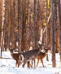 Doe & Fawns (Daniel000000) Tags: deer art new old babies family animals wildlife wild trees nature forest nikon d850 nikond850 spring wisconsin stevens point schmeeckle park snow light brown whitetail sunlight sunshine explore adventure travel