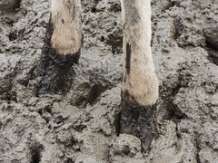 Muddy Feet (Steve Taylor (Photography)) Tags: deer hooves mud animal monocolor monocolour brown newzealand nz southisland canterbury christchurch wet