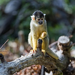 Squirrel monkey on the branch thumbnail