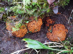 Fungi, Glasdrum National Nature Reserve (Niall Corbet) Tags: scotland argyll glasdrum nationalnaturereserve nnr fungi fungus