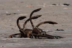 Anchors (iamfisheye) Tags: 300mm vr february nikon f4 modhvabeach india d500 naturetrek xqd afs tc14iii pf 2019 gujarat raremammalsandbirdsofgujarat