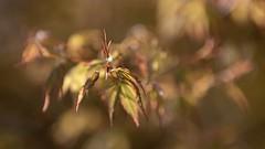 Érable du Japon (Callie-02) Tags: érabledujapon rouge vert printemps arbre nature jardin extérieur branche feuilles couleurs détails lumière bokeh profondeurdechamp canon 70200 proximité