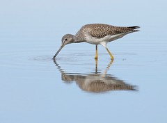 Riches in the Shallows (Slow Turning) Tags: tringamelanoleuca greateryellowlegs wadingbird water bay shore lake foraging forage autumn fall southernontario canada we migrant migrate migrating